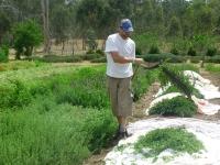 12-sythe-harvest-of-oregano