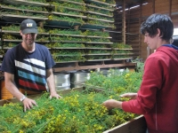 5-sorting-st-johns-wort-onto-drying-screens
