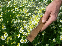 9-chamomile-flowers-hand-harvesting